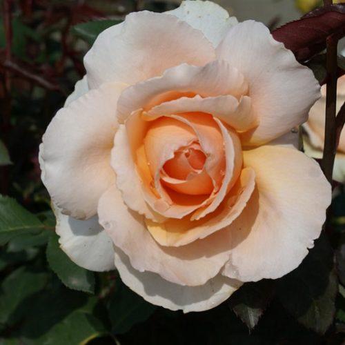 Rose just joey