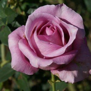 Rose Madiba