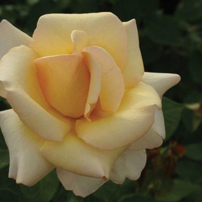 Rose Rhona Lya