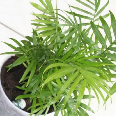Miniature Bamboo Palm
