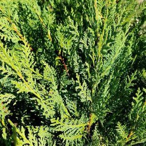 Cupressus Sempervirens STD
