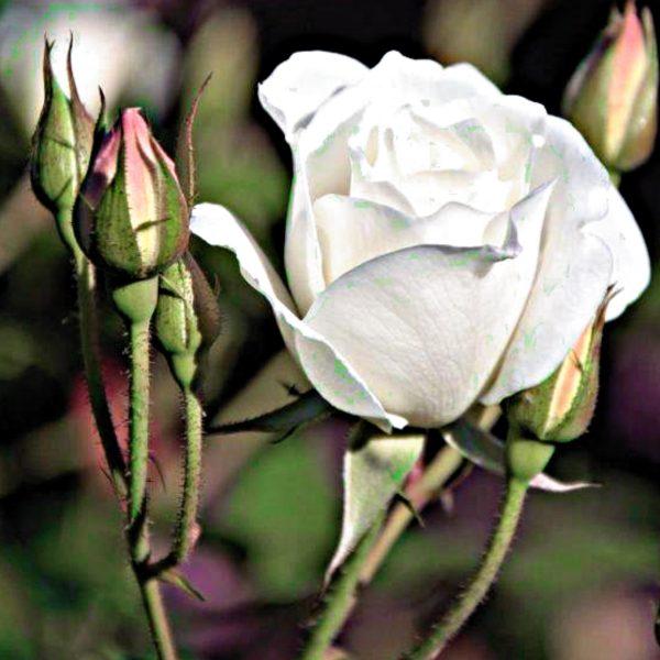 07455011 - Rose-Iceberg