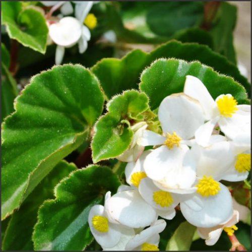 Begonia Baby Wings1