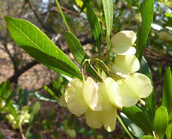 Dodonaea_angustifolia