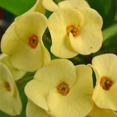 Euphorbia Milii Yellow