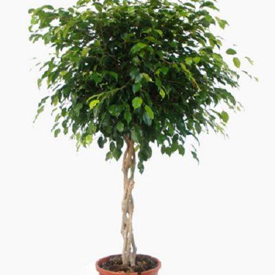 Ficus-Benjamina-Braided2-400x400 Indoor Plants