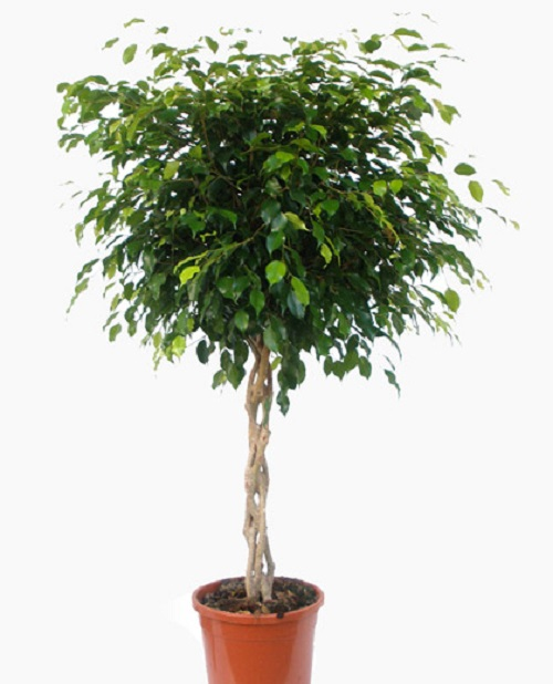 Ficus Benjamina Braided2Ficus Benjamina Braided2
