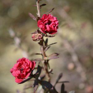 Leptospermum Cherry Brandy