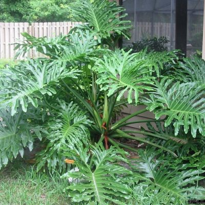 Philodendron-selloum-400x400 OUTDOOR PLANTS