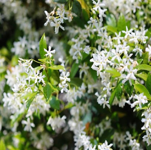 Dreamstime L 20639054 Star Jasmine Garden Online Home