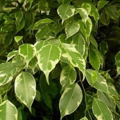 ficus-golden-king-400x400 Indoor Plants