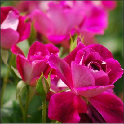 Burgundy-Iceberg-Bush-2-e1539947300241-400x400 Roses