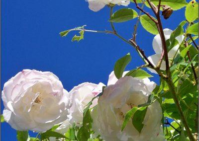 Iceberg-bush-1-400x284 Garden Day!