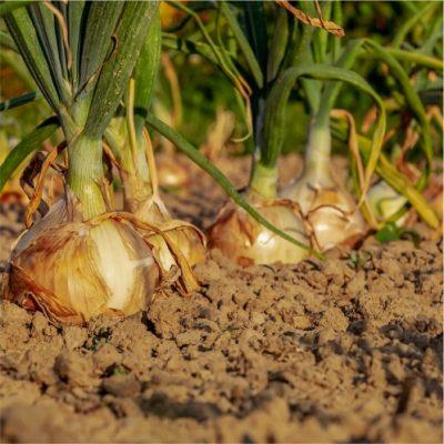Cepa Onions