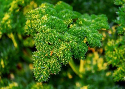 Parsley-400x284 Your OctSOWber Garden!