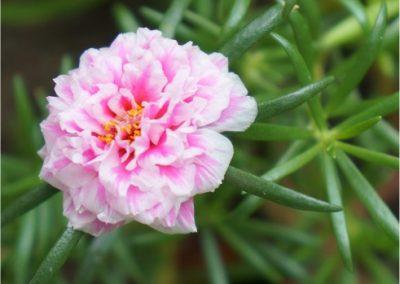 Portulaca-400x284 Your OctSOWber Garden!
