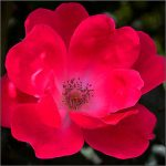 Rose-Pink-Knockout-STD-1-150x150 Garden Day!