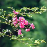 Rose-Pink-Knockout-bush-1-150x150 Garden Day!
