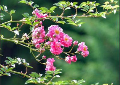Rose-Pink-Knockout-bush-1-400x284 Garden Day!