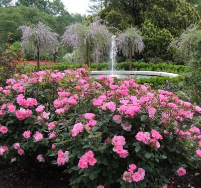 Rose Pink Knockout Bush
