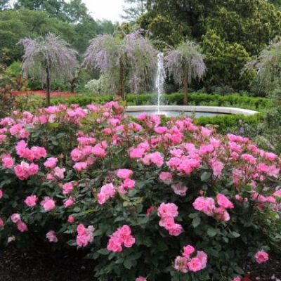 Rose-pink-knock-out-e1541489762387-400x400 Roses