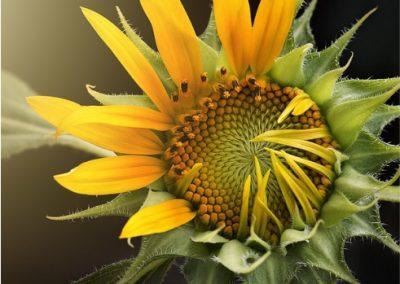 Sunflowers-400x284 Your OctSOWber Garden!