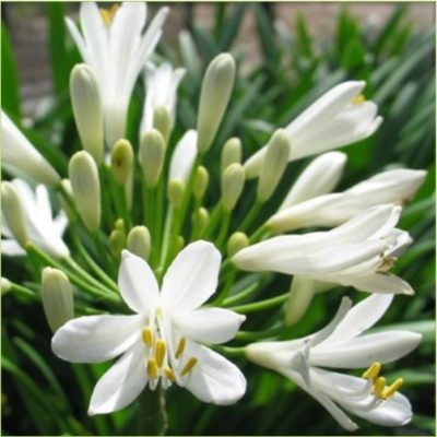 White-Nile-Lily-400x400 OUTDOOR PLANTS