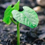 healthy-6-150x150 EMERGENCE OF LIVING PLANTS