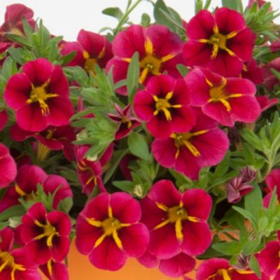Calibrachoa-400x400 OUTDOOR PLANTS