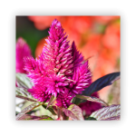 Celosia-150x150 What to do in your garden in November!