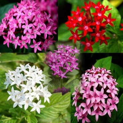 Pentas Butterfly mixed Colours