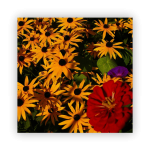 Gloriosa-daisies-150x150 What to do in your garden in November!