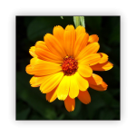 Marigolds-1-150x150 What to do in your garden in November!