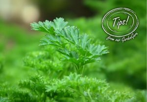 Practical-Parsley-300x209 GardenEasy
