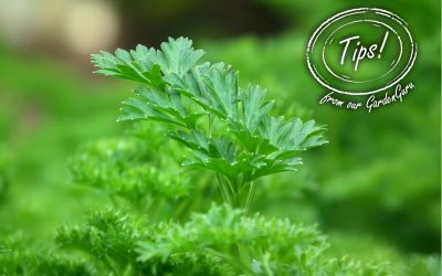 Practical-Parsley-400x250 News