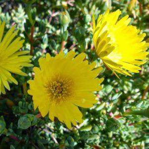 Lampranthus Yellow