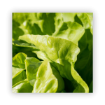 lettuce-1-150x150 What to do in your garden in November!