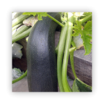 marrows-150x150 What to do in your garden in November!