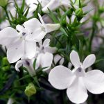 lobelia-2411078-150x150 What To Do In Your Garden In December