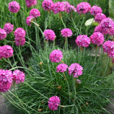 Armeria-Pink-Thrift-400x400 OUTDOOR PLANTS
