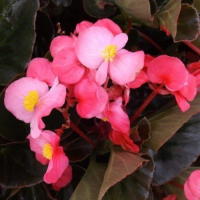 Begonia 'Dragon Wings'