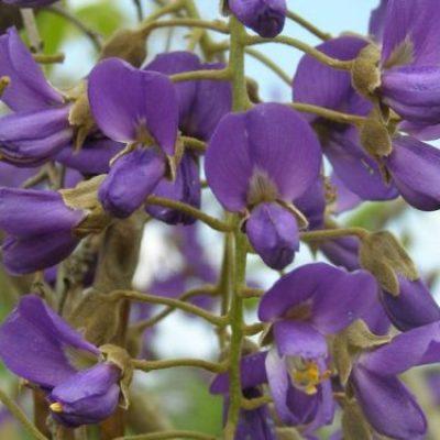 Bolusanthus-speciosus-inflorescence-e1547549147914-400x400 OUTDOOR PLANTS