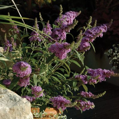 Buddleja-400x400 OUTDOOR PLANTS