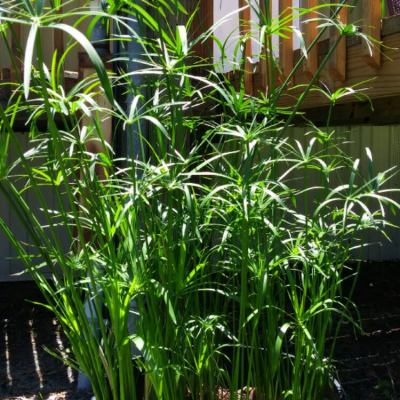 Cyperus-fern-400x400 OUTDOOR PLANTS