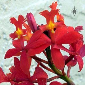 Epidendrum X Obrienianum