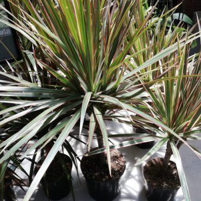 Draceana Variety 12cm