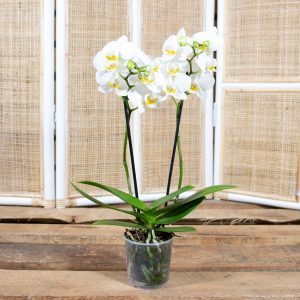 Moth Orchid – Phalaenopsis amabilis mini