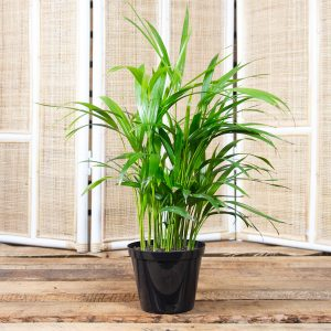 Bamboo Palm  15cm