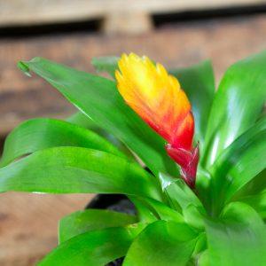 Bromeliad Vriesea variety 15cm pot