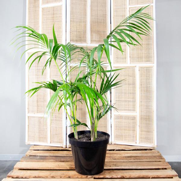 92004001 - Kentia Palm